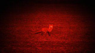 Red Fox Frenzy