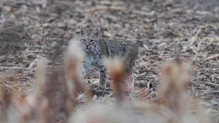 Calling Coyotes and a Kansas Bobcat | The Last Stand S2:E8