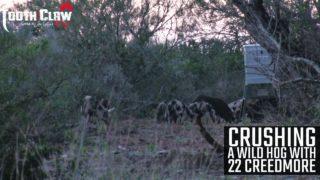 Crushing A Wild Hog With The 22 Creedmoor