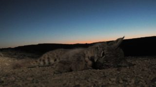 Day and Night – Coyote Hunting