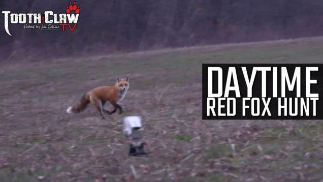 Daytime Red Fox Hunt