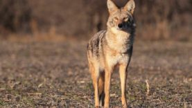A solo 7 coyote day in February! The Last Stand S2 – E10