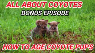 ALL ABOUT COYOTES  How to Age Coyote Pups The Cycle of Life and Death Bonus Episode
