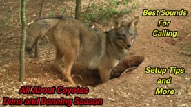 ALL ABOUT COYOTES – The Cycle of Life and Death – Coyote Dens and The Denning Season Episode 2