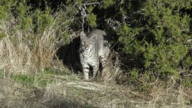 Back to Back Bobcat Kills