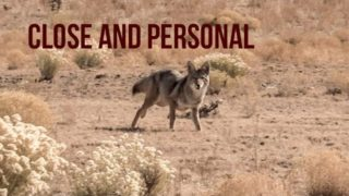 COYOTE HUNTING – Up Close and Personal