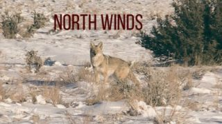 COYOTE HUNTING – Winds and Snow